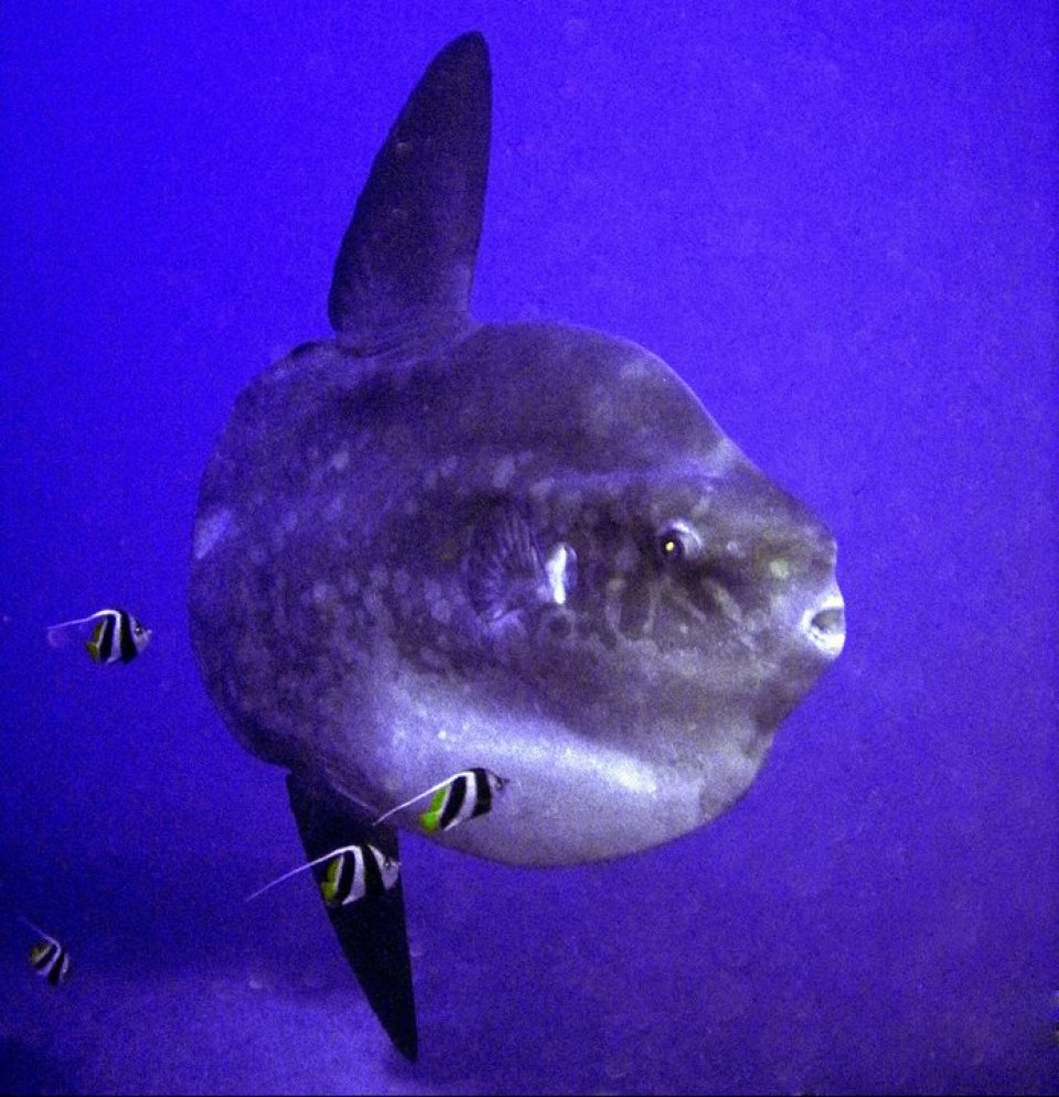 Mola Mola at Crystal Bay